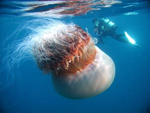 A giant jellyfish drifting in the waters off Echizen in in the Sea of Japan (Asahi Shimbun/Tetsuji Asano/AP)
